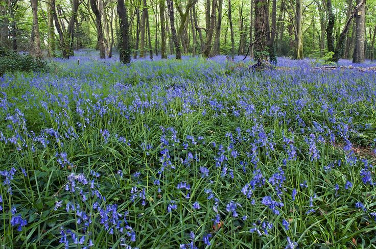 Bluebell Wood - Pendarves Wood, Near Camborne, West Cornwall
