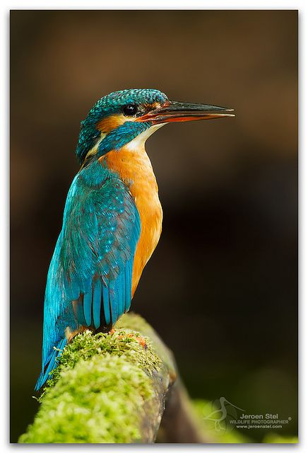 Kingfisher bird: peace prosperity and faithfulness.  Seen twice over last two days so husband thinks its a sign.  may get one for next tattoo