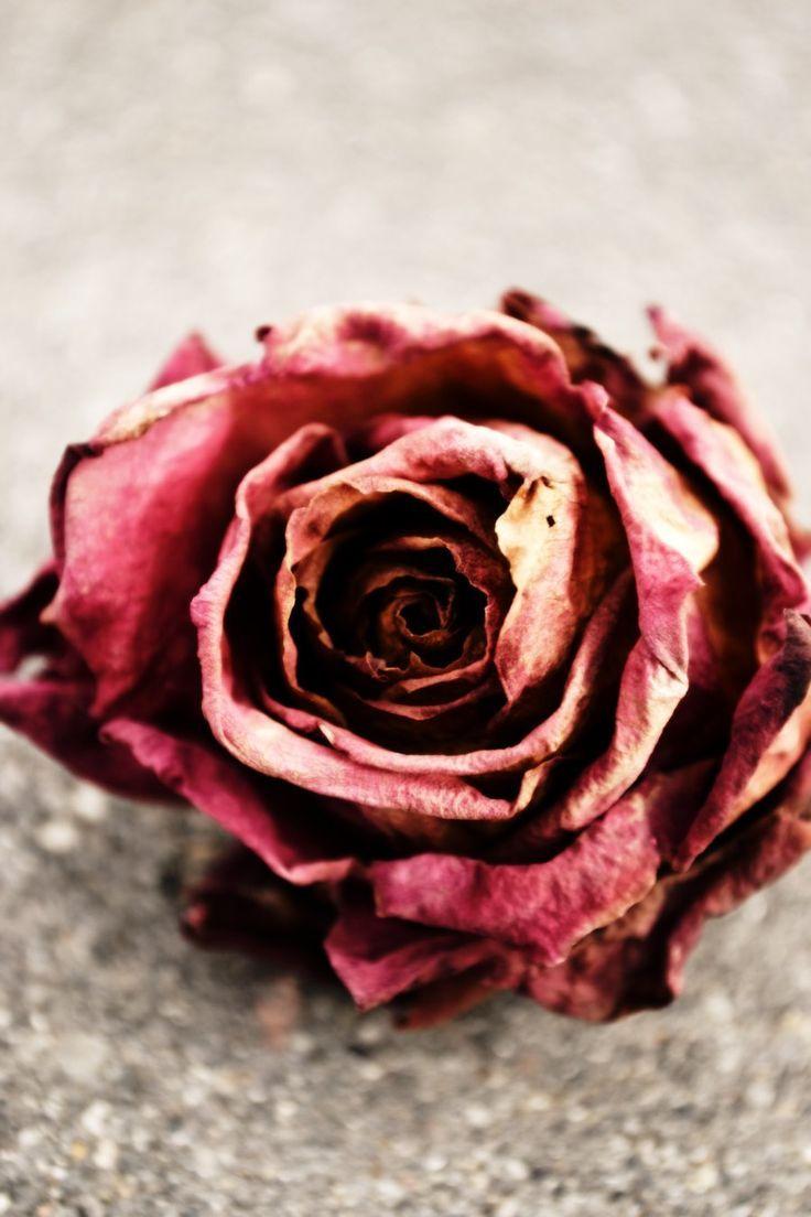 Dead Rose By Bleeding Roses On DeviantArt