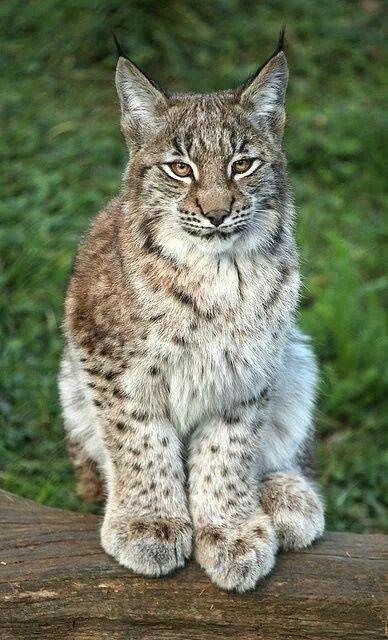 cat lynx autumn foliage - photo #13