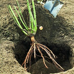 How to plant bare root roses