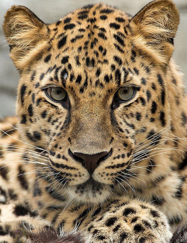 Amur Leopard_10Q7295