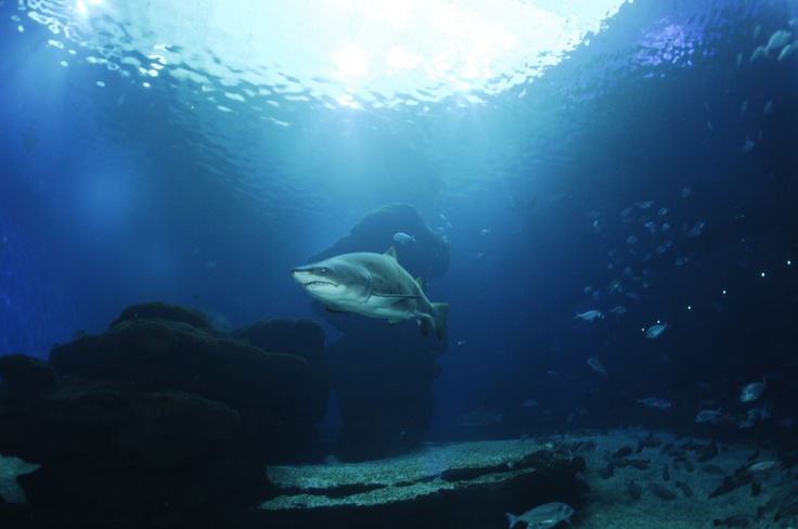 Come and see the great Sharks in the Palma Aquarium. A wonderful experience for all ages, to see the Sharks swim up close with only few cm of glass in between. ----- More Information: http://www.nofrills-excursions.com/excursions-tours-thingstodo/port-alcudia/excursion-palma-aquarium/