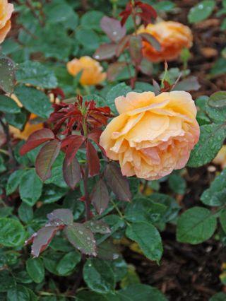 How To Start A Rose Garden