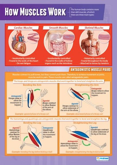 How Muscles Work | Physical Education School Posters