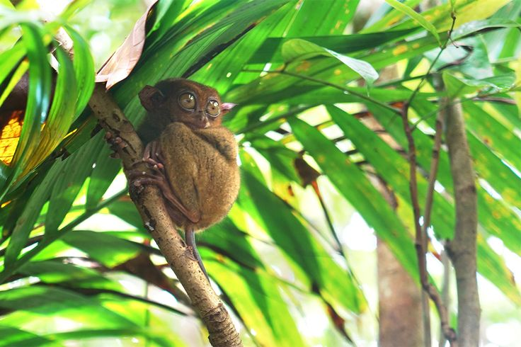 Looks like a monkey in glasses? It's named 'tarsier' for their spectacles-like eyes. If you are an animal lover as well, this adorable creature on Bohol Island, Philippines would be a must-visit. #MyOdysseyTours #Odyssey #Tour #BoholIsland #Philippines #Animal #Monkey #Cute #Lovely