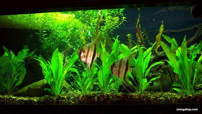 Amazon blackwater biotope aquarium pinterest for Amazon aquarium fish