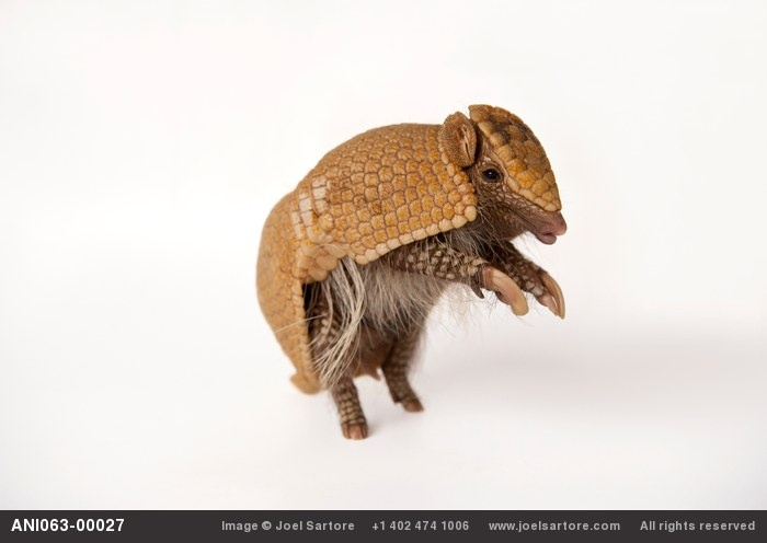 A southern three-banded armadillo (Tolypeutes matacus) at the Lincoln Childrens Zoo, Lincoln, Nebraska. (IUCN: Near Threatened)