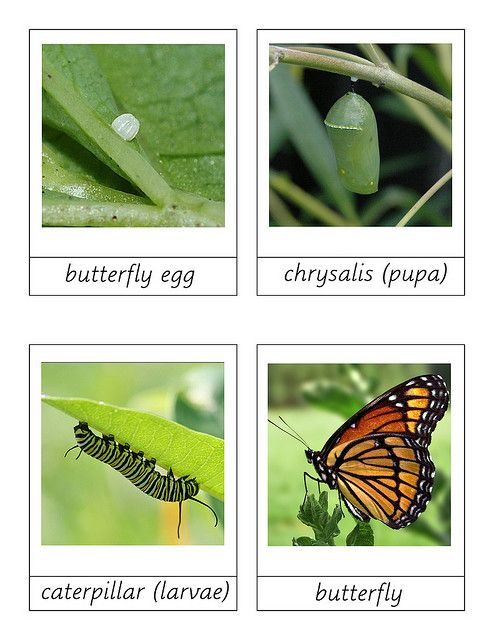butterfly life cycle printable 3 part cards