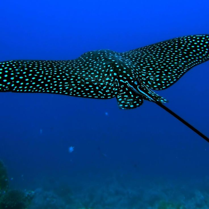 Spotted Eagle Ray~ snorkeled with these amazing creatures in the Galapagos Islands