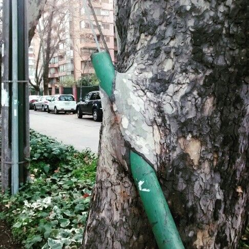 City vs tree #santiagodechile #Chile