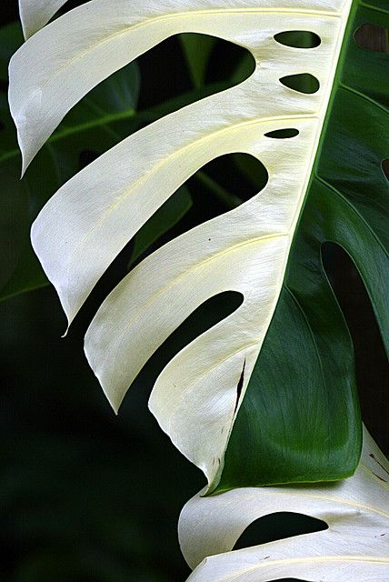 Beautiful foliage of variegated Monstera deliciosa, sometimes called split-leaf philodendron or Swiss cheese plant.  #houseplant