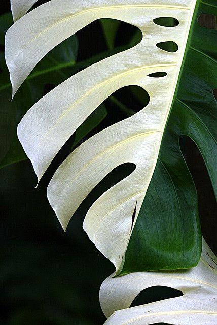 Beautiful foliage of variegated Monstera deliciosa ...