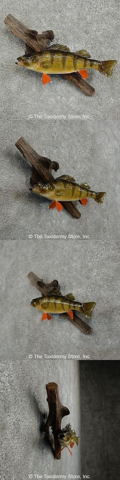 Fish 71127: #16052 E   10.5 Perch Freshwater Fish Taxidermy Mount For Sale BUY IT NOW ONLY: $190.0