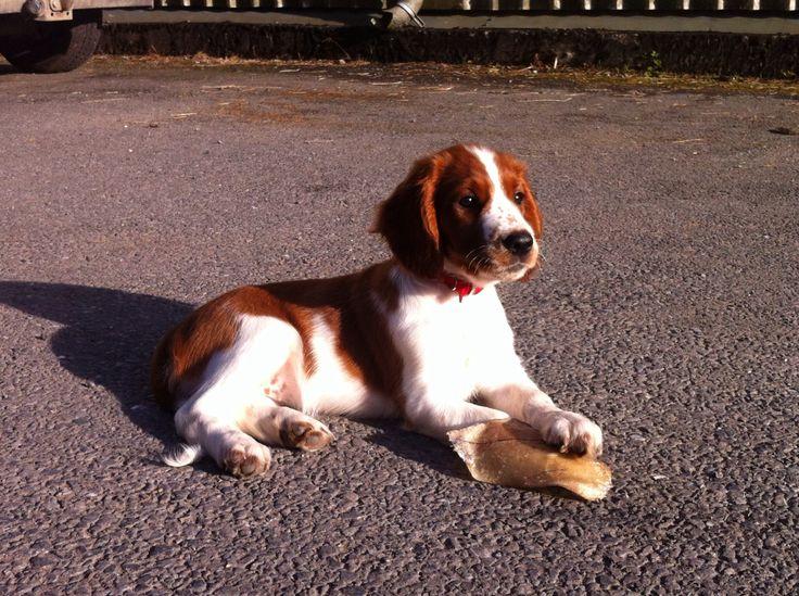 Mr & Mrs Phillips Puppy - Gwen. Welsh Springer Spaniel