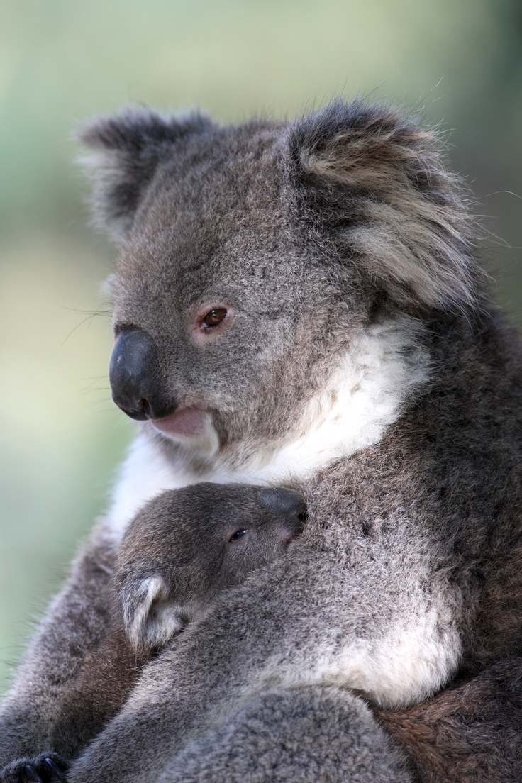 Visit Healesville Sanctuary in Victoria to see the koalas, and come face to face with the kangaroos and emus. See the bird show!