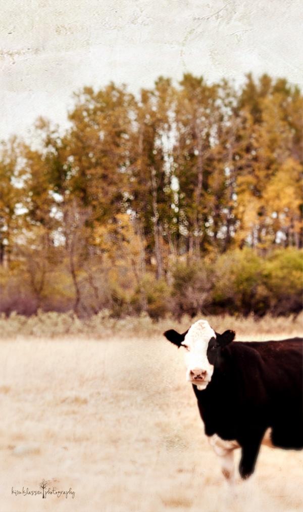 Cow: Fall Pictures, Fantagulous, Beautiful, Pics Ideas, Farms Life, Photo, Livestock, Animal