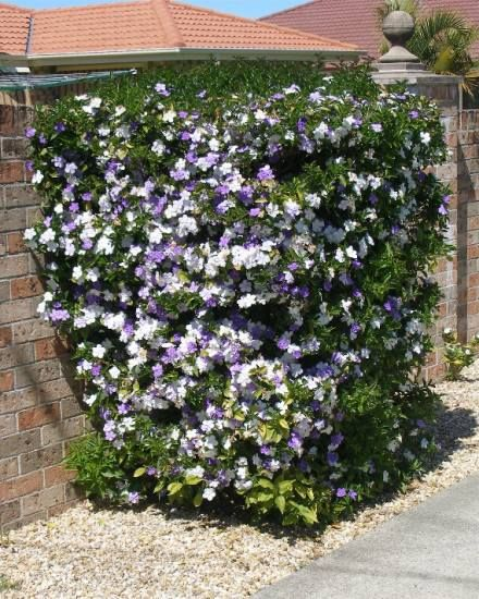 Yesterday Today And Tomorrow Plant Brunfelsia Outside Stuff Plants Flowers Shrubs