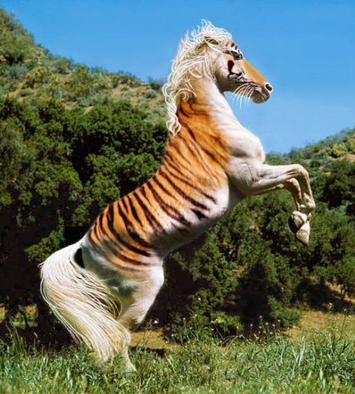 Even more rare than the Maltese Tiger and the Golden Tiger... the Horse Tiger, thought to have never existed. - Imgur
