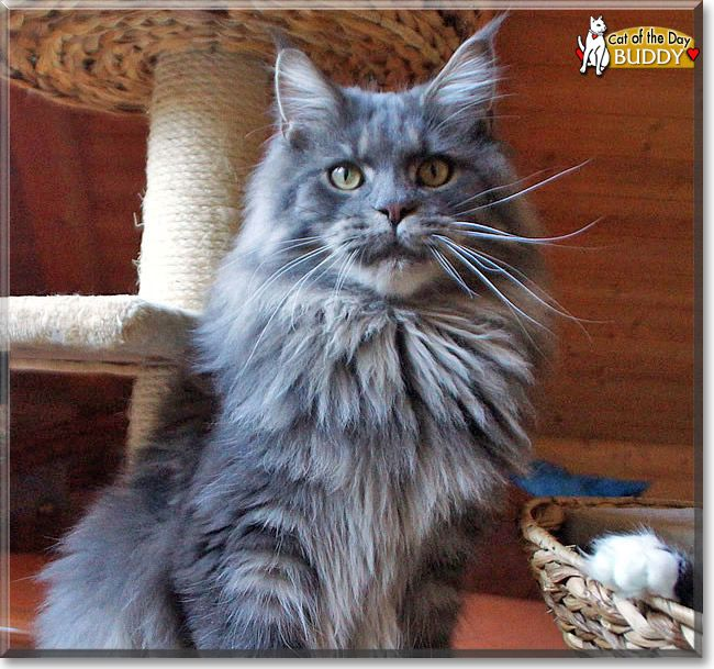 Read Buddy the Maine Coon's story from Bahretal, Saxony, Germany and see his photos at Cat of the Day http://CatoftheDay.com/archive/2014/May/01.html .