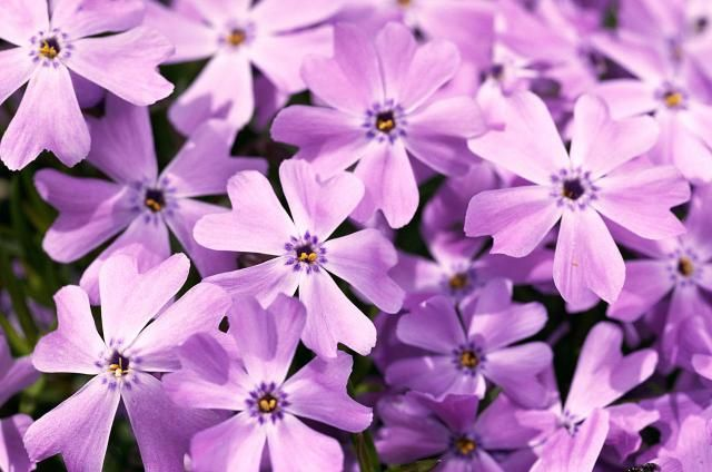 Why your spring yard will look so much better with creeping phlox: http://landscaping.about.com/od/groundcovervines1/p/creeping_phlox.htm