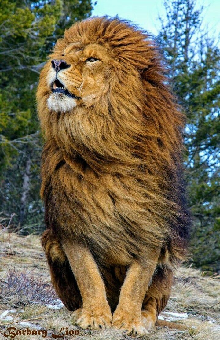 THE MAGNIFICENCE AND MAJESTY OF THE LION #YAHUSHUA KING OF