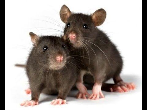 Remedios caseros para Ahuyentar Ratas y ratones - YouTube