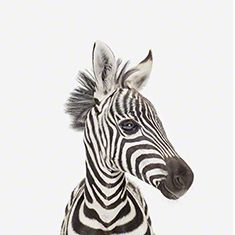 Baby Zebra portrait | All of Sharon Montrose's baby animals as a collection make an adorable modern nursery wall. #nunapinparty #modernfamilyhome