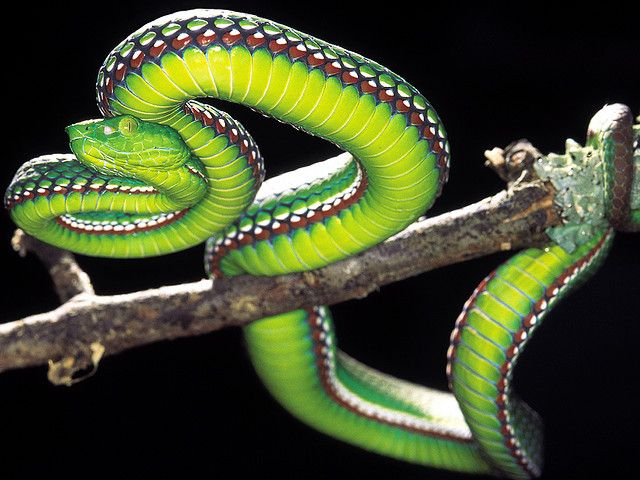 Medo Pit Viper Snake (Trimeresurus medoensis)