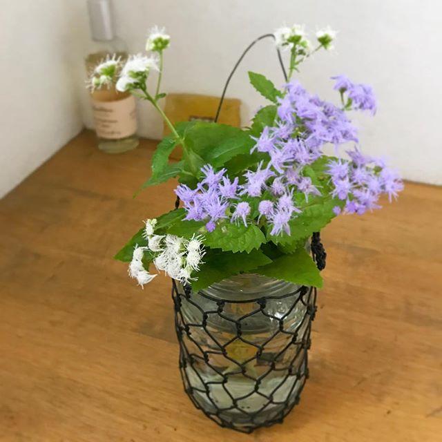 花壇に白いフジバカマを発見❣️ 植えた覚えがないんだけどな〜??かわいいからトイレに飾ってみました💕 ・ ・ ↟↟⋆*⋆ฺ。 ・ #群馬 #暮らし #ワイヤークラフト #ハンドメイド#フジバカマ #toypoodle #iphone7 #love #instagood #life #cute #flower #iphone7 #love #instagood #life #cute #plants
