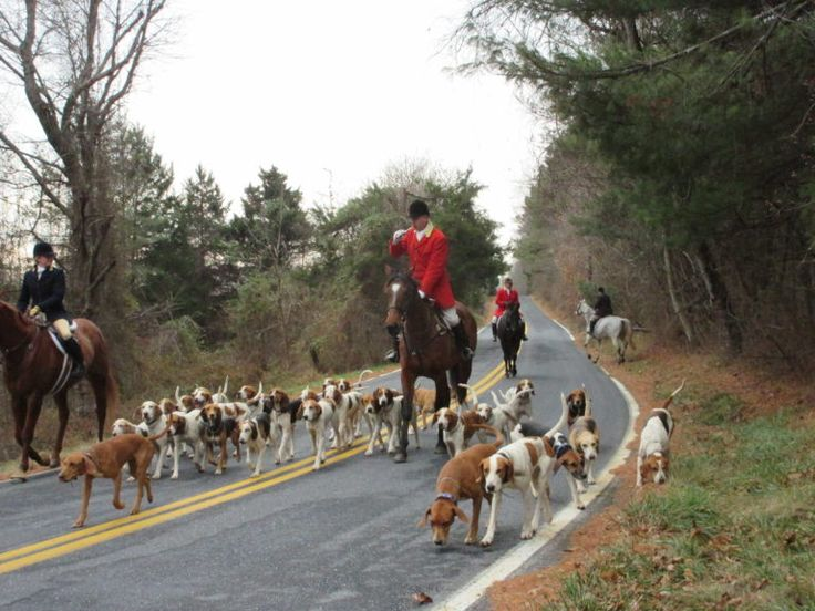 Tally Ho!  This Fox Hunt Was All About the Cleveland Bays- Colonial Williamsburg Fox Hunt
