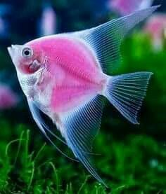 Beautiful pink fish