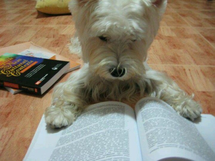 "I TOLD YOU WESTIES ARE SMART !!!   HE'S LOOKING UP THE WORD ""INTELLIGENT"" (LOL)"