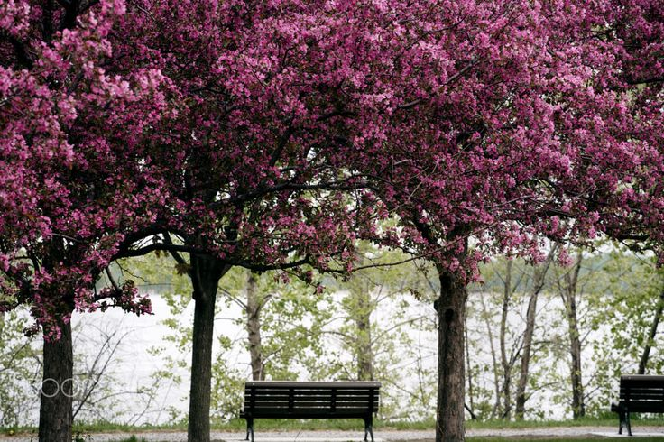 Blooming Cherry Blossoms in the park of Montreal by Gabriela Tulian on 500px