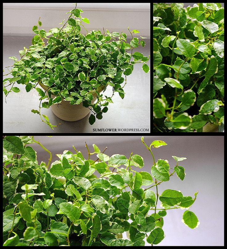 Ficus pumila sprzedawana jest przeważnie jako mała roślinka. Jej drobne…