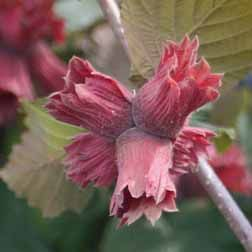 Hazelnut 'Red Cracker'  Corylus, Hazel, Filberts, Cobnuts  Hardy Tree  A striking red filbert, with dark red leaves and pretty red husks with crisp white inner kernels. This vigorous tree is stunning in spring with its highly attractive foliage, and also provides winter interest when it is covered in yellow catkins which hold well on the tree.    Hazelnut 'Red Cracker' is self-fertile and therefore does not require a pollination companion. Hazels will begin to produce nuts three to four…