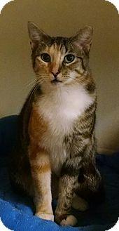 Garden City, MI - Calico. Meet Blossom, a cat for adoption. http://www.adoptapet.com/pet/15989625-garden-city-michigan-cat