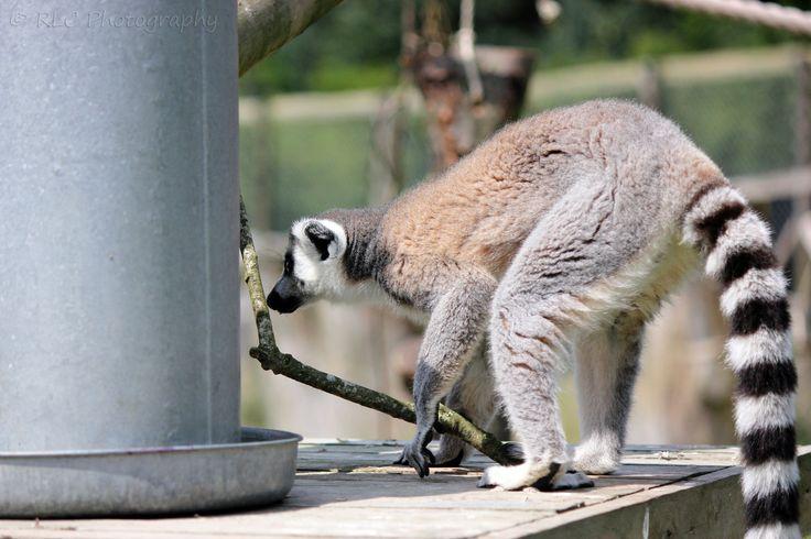 https://flic.kr/p/qwPVLG | Longleat Zoo | July 2013