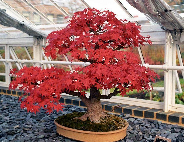 Semer des graines de bonsaï | BricoBistro