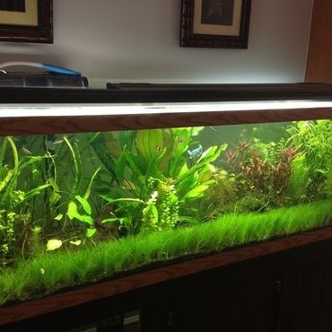 Aquatic Mosses for Freshwater Tanks | RateMyFishTank.com