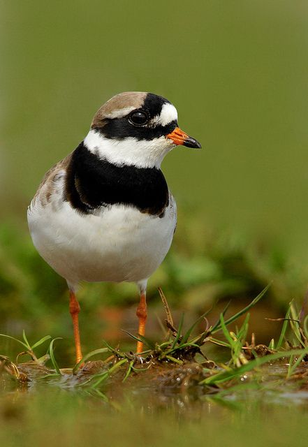 Ringed Plover at RSPB Titchwell on 4th May 2015