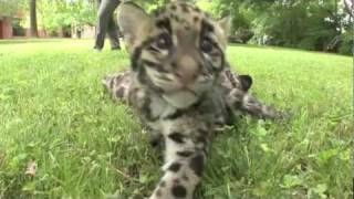 Update - Newborn Clouded Leopard Cubs - 2 month old - YouTube