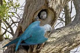 Resultado de imagem para ararinha azul da caatinga