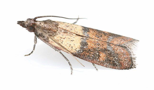 indian meal moth - Google Search