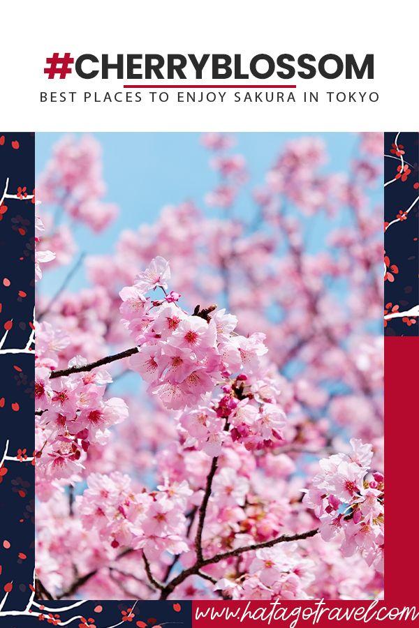 Cherry Blossom Cherry Blossom Tokyo Cherry Cherry Blossom Season