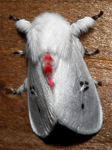 Polilla blanca con puntos negros y rojos / Red- and black-spotted white moth