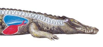 Crocodile Shot Placement