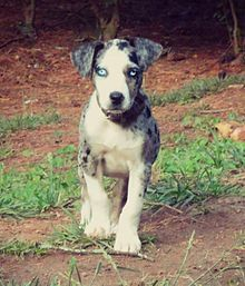 You must be ready to teach and exercise a Catahoula. If not, he will eat your house. The Catahoula will not let you forget that you own a dog.--Don Abney