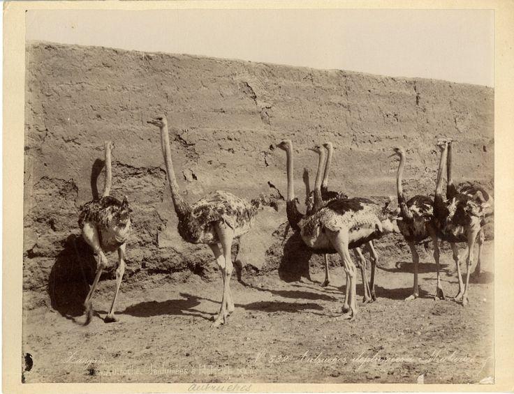 Zangaki. Egypte, Autruches à Matarseh    #Afrique_Africa #Egypte