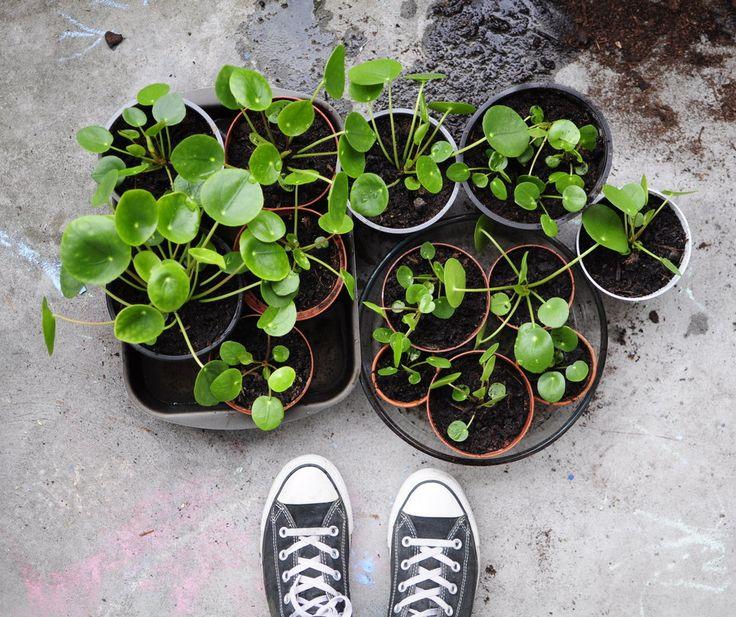 165 besten pilea bilder auf pinterest zimmerpflanzen gr n und pflanzent pfe. Black Bedroom Furniture Sets. Home Design Ideas